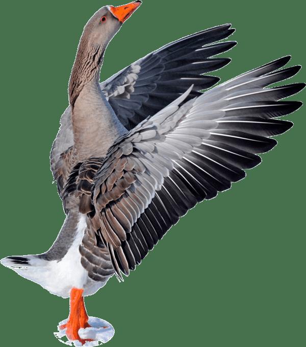 Наша птица